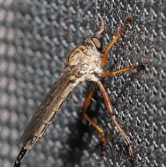 Cerdistus sp. (genus) (Robber fly) at ANBG - 2 Dec 2019 by TimL