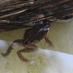 Limnodynastes peronii (Brown-striped Frog) at Burradoo, NSW - 7 Jan 2020 by GlossyGal