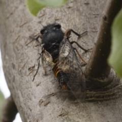 Yoyetta subalpina (Subalpine Firetail Cicada) at Jindabyne, NSW - 28 Dec 2019 by Illilanga