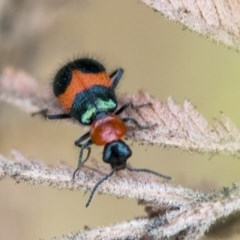 Dicranolaius bellulus (Red and Blue Pollen Beetle) at The Pinnacle - 8 Jan 2020 by AlisonMilton