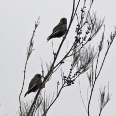 Artamus cyanopterus (Dusky Woodswallow) at Isobella Pond - 9 Jan 2020 by RodDeb