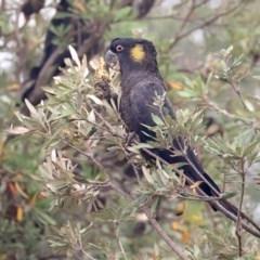 Calyptorhynchus funereus (Yellow-tailed Black-cockatoo) at Tathra, NSW - 7 Jan 2020 by Leo
