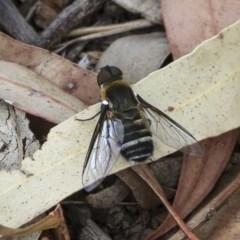 Villa sp. (genus) (Unidentified Villa bee fly) at Hawker, ACT - 9 Jan 2020 by AlisonMilton