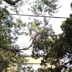Cacatua sanguinea (Little Corella) at Hughes, ACT - 9 Jan 2020 by ruthkerruish