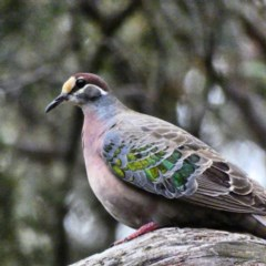 Phaps chalcoptera (Common Bronzewing) at Red Hill Nature Reserve - 6 Jan 2020 by Ct1000