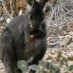 Macropus robustus (Wallaroo) at Red Hill Nature Reserve - 23 Dec 2019 by Ct1000