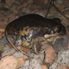 Limnodynastes dumerilii (Eastern Banjo Frog) at Michelago, NSW - 4 Jan 2020 by Illilanga