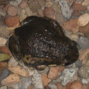 Limnodynastes dumerilii at Illilanga & Baroona - 5 Jan 2020