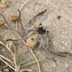 Isopeda sp. (genus) (Huntsman Spider) at Jindabyne, NSW - 28 Dec 2019 by Illilanga