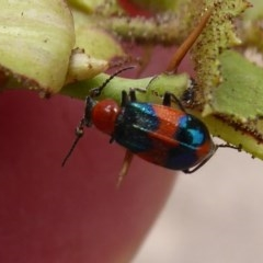 Dicranolaius bellulus (Red and Blue Pollen Beetle) at Sherwood Forest - 9 Jan 2020 by Christine