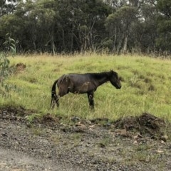Equus caballus (Brumby, Wild Horse) at Kosciuszko National Park - 28 Jan 2019 by Illilanga