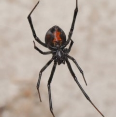 Latrodectus hasselti (Redback Spider) at Evatt, ACT - 6 Dec 2019 by TimL