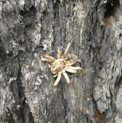 Artoria lineata (TBC) at FS Private Property - 11 Jan 2020 by Stewart