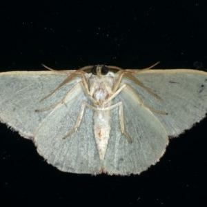 Prasinocyma semicrocea at Ainslie, ACT - 10 Jan 2020
