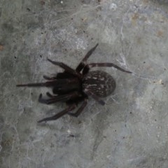 Badumna insignis (Black house spider) at Bega, NSW - 9 Jan 2020 by RobParnell