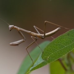 Mantodea sp. (order) (Unidentified praying mantis) at ANBG - 8 Jan 2020 by WHall
