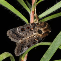 Proteuxoa sanguinipuncta (Blood-spotted Noctuid) at Ainslie, ACT - 11 Jan 2020 by jbromilow50