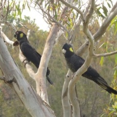 Calyptorhynchus funereus (Yellow-tailed Black-cockatoo) at Tura Beach, NSW - 29 Dec 2019 by LizAllen