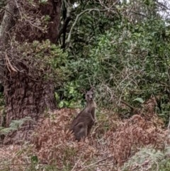 Macropus giganteus (Eastern Grey Kangaroo) at Lake Conjola, NSW - 5 Jan 2020 by DonnaH