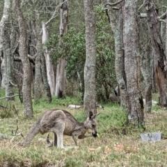 Macropus giganteus (Eastern Grey Kangaroo) at Lake Conjola, NSW - 9 Jan 2020 by DonnaH