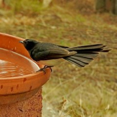 Rhipidura leucophrys (Willie Wagtail) at Brogo, NSW - 8 Jan 2020 by MaxCampbell