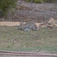 Oryctolagus cuniculus (European Rabbit) at Wamboin, NSW - 22 Nov 2019 by natureguy