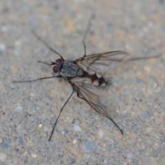 Prosena sp. (genus) (A bristle fly) at Wamboin, NSW - 23 Nov 2019 by natureguy