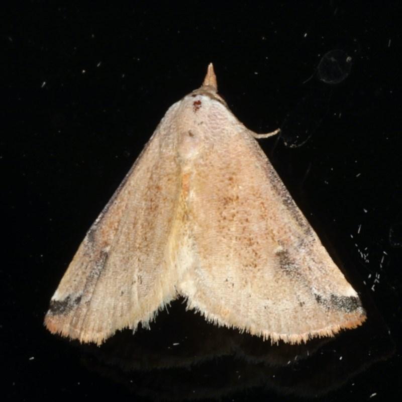 Mataeomera dubia at Ainslie, ACT - 10 Jan 2020