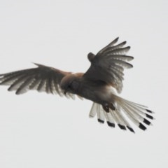 Falco cenchroides (Nankeen Kestrel) at Wingecarribee Local Government Area - 12 Jan 2020 by GlossyGal