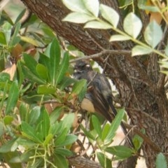 Rhipidura albiscapa (Grey Fantail) at Red Hill Nature Reserve - 12 Jan 2020 by JackyF