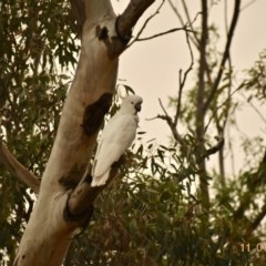 Cacatua galerita (Sulphur-crested Cockatoo) at Fowles St. Woodland, Weston - 10 Jan 2020 by AliceH