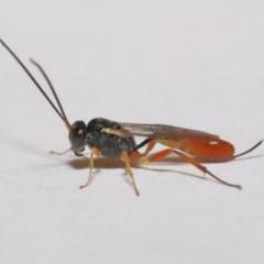 Ichneumonidae sp. (family) (Unidentified ichneumon wasp) at Evatt, ACT - 5 Jan 2020 by TimL