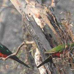 Alisterus scapularis (Australian King-Parrot) at ANBG - 12 Jan 2020 by HelenCross