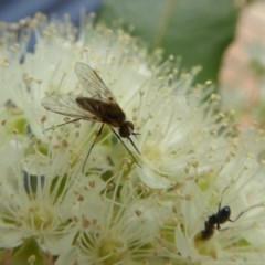 Geron sp. (genus) (Slender Bee Fly) at Rugosa at Yass River - 9 Jan 2020 by SenexRugosus