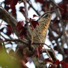 Eudynamys orientalis (Eastern Koel) at Hughes, ACT - 13 Jan 2020 by LisaH