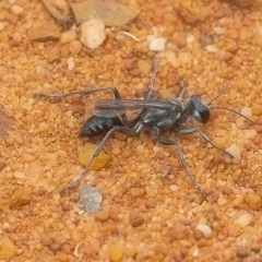 Tachysphex sp. (genus) (Unidentified Tachysphex sand wasp) at ANBG - 12 Jan 2020 by WHall