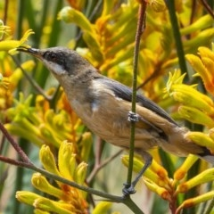Acanthorhynchus tenuirostris (Eastern Spinebill) at ANBG - 12 Jan 2020 by WHall