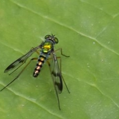 Austrosciapus connexus (Green long-legged fly) at ANBG - 12 Jan 2020 by WHall