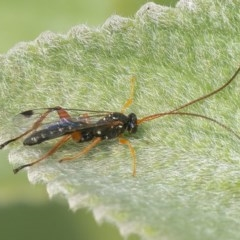Ichneumonidae sp. (family) (Unidentified ichneumon wasp) at ANBG - 12 Jan 2020 by WHall