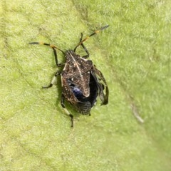 Oncocoris geniculatus (A shield bug) at ANBG - 12 Jan 2020 by WHall