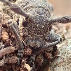 Ancita australis (Longicorn or longhorn beetle) at Mount Painter - 12 Jan 2020 by CathB