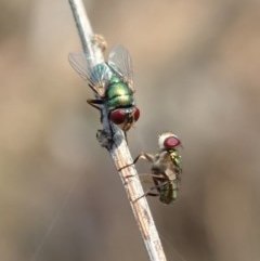 Chrysomya sp. (genus) (A green/blue blowfly) at Aranda Bushland - 13 Jan 2020 by CathB
