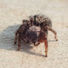 Servaea sp. (genus) (Unidentified Servaea jumping spider) at Aranda Bushland - 13 Jan 2020 by CathB