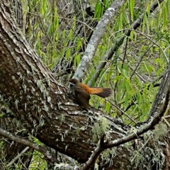 Rhipidura rufifrons (Rufous Fantail) at Brogo, NSW - 13 Jan 2020 by JackieMiles