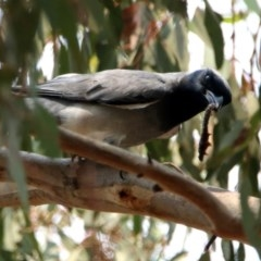 Coracina novaehollandiae (Black-faced Cuckooshrike) at Jerrabomberra Wetlands - 13 Jan 2020 by RodDeb