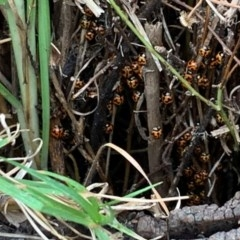 Coccinella transversalis (Transverse Lady Beetle) at Basin View, NSW - 25 Jan 2020 by Trishwildfire