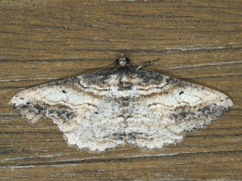 Syneora euboliaria at Ainslie, ACT - 13 Jan 2020