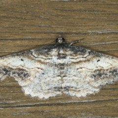 Syneora euboliaria (A looper or geometer moth) at Ainslie, ACT - 13 Jan 2020 by jbromilow50