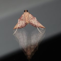 Endotricha pyrosalis at Ainslie, ACT - 13 Jan 2020