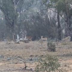 Dama dama (Fallow Deer) at Michelago, NSW - 12 Jan 2020 by Illilanga